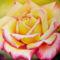 yellow_rose2