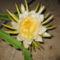 2009 óriás virág