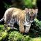 Apróka tigrincs