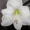 Fehér Amarilis