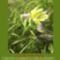 Sár-hegyi védett növényeink 17