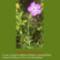 Sár-hegyi védett növényeink 2