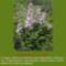 Sár-hegyi védett növényeink 3