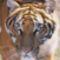 tigris_indo_kinai
