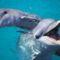 bottlenose_dolphin_1249780c