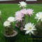 Kaktusz viragok