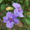 Kolostorharang Thunbergia_grandiflora