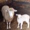 Mindenszenti bárány