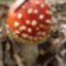 Légyölő galóca - Irottkő