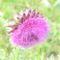 vadvirágok a Raxon 15
