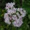 vadvirágok a Raxon 9
