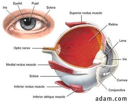 a szem felépítése (forrás - biomed.metu.edu