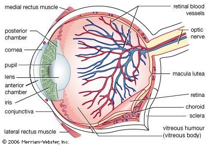a szem felépítése (forrás - britannica