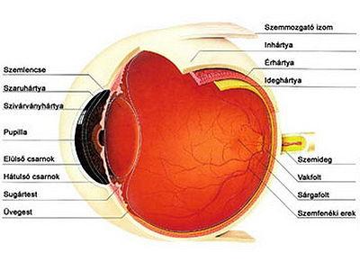 a szem felépítése (forrás - hu.wikimedia
