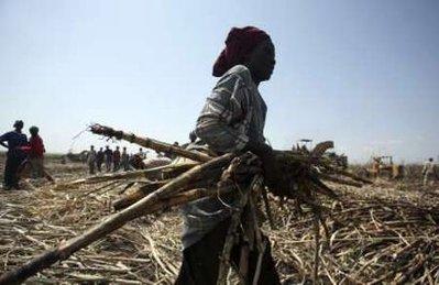 cukornád gyűjtés Nigériában