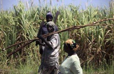 cukornádaratás Nigériában