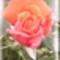 a tüzpiros rózsa