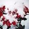 Mikulásvirág a hó alatt
