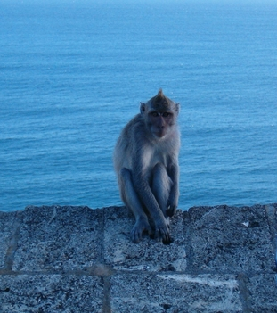 uluwatu_monkey