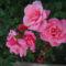 egy rózsaszál  szebben.............
