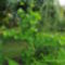 Ginkgo biloba ( páfrányfenyő )