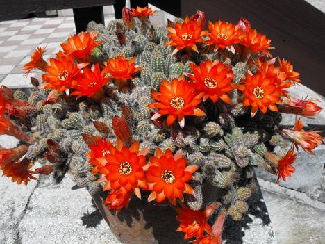 kukac kaktusz