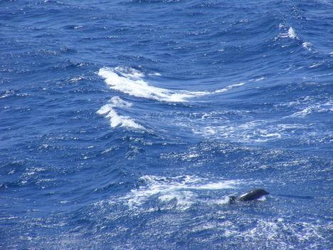 Palackorrú delfin a Gibraltári szorosban