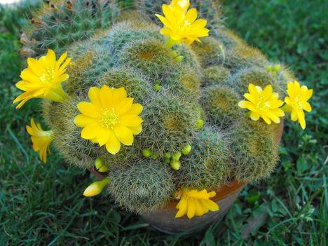 sárga virágu kaktusz