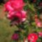 Rózsám   ( Luzia Nisler )