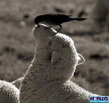 sheepbird