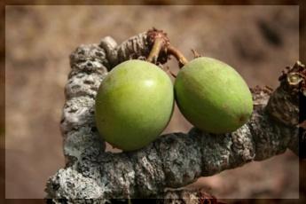 A karitéfa termése