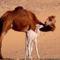 dromedarok-a-sivatagban-kep