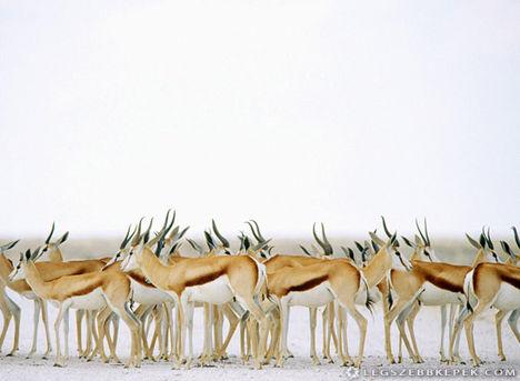 gazella-csorda-kep