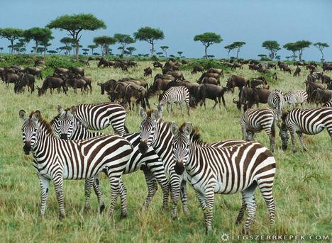 zebra-csorda-kep