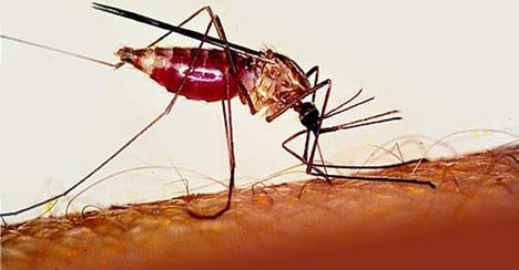 1. helyezett: a malriaszúnyog