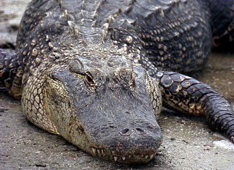 3. helyezett: a krokodil