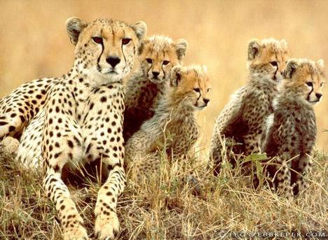 gepard-csalad-a-szavannan-kep