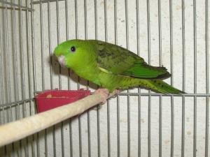 katalin papagáj