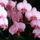 Orchidea / Most virágzik másodjára/