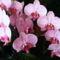 Orchidea /Most virágzik másodjára/