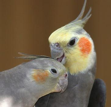 papagáj 6