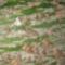 A Palackfa 1-2 cm-es tüskéi