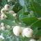mirtuszfa és termése
