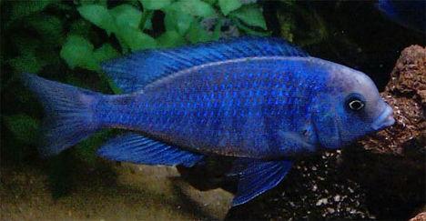 blue-lumphead-cichlid