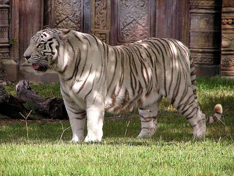 tigris-4
