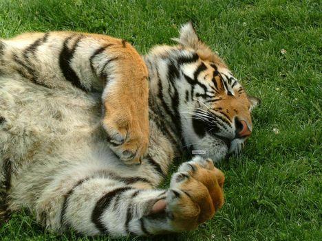 tigris-6