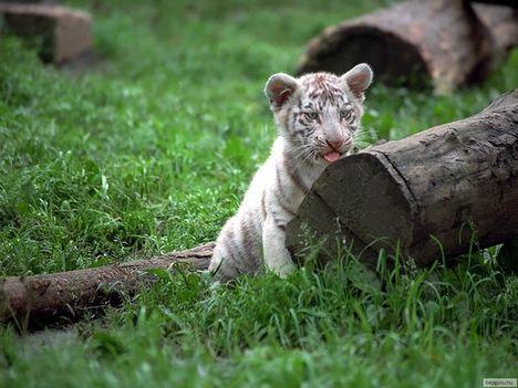 tigris-7