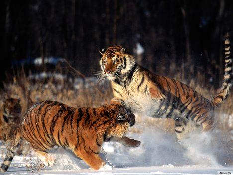 tigris-8