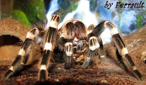 Acanthoscurria geniculata kajálás