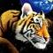 Tigris 01